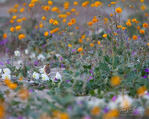flowers anza borrego in nature portraits from the desert anza borrego