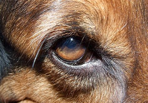 puppy eye infection curing a eye infection with home remedies trupanion pet health care advice