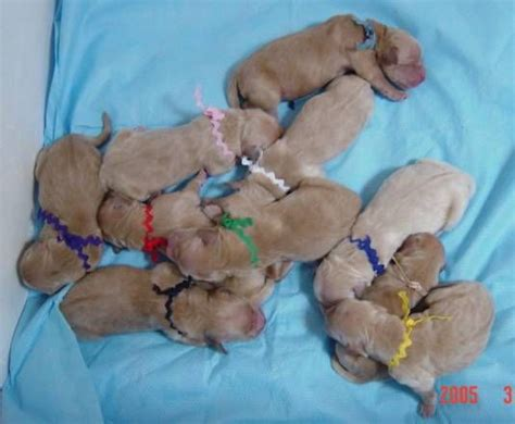newborn puppies 13 best images about baby puppy s on lab puppies mothers and beagle puppies