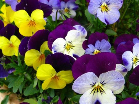 viole fiori immagini food influencer food viole pensiero ricetta