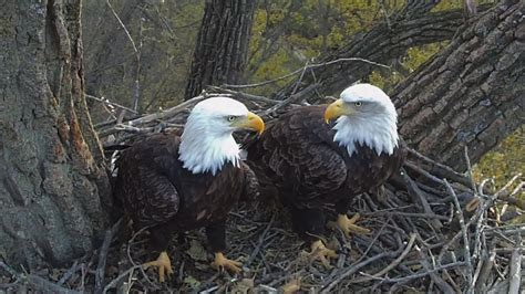 decorah eagles get a new nest iowa public radio