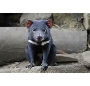 Tasmanian Devil Related Keywords &amp Suggestions  Long