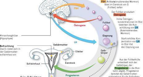 schwangerschaft symptome ab wann blutungen au 223 erhalb der regel der menstruationszyklus