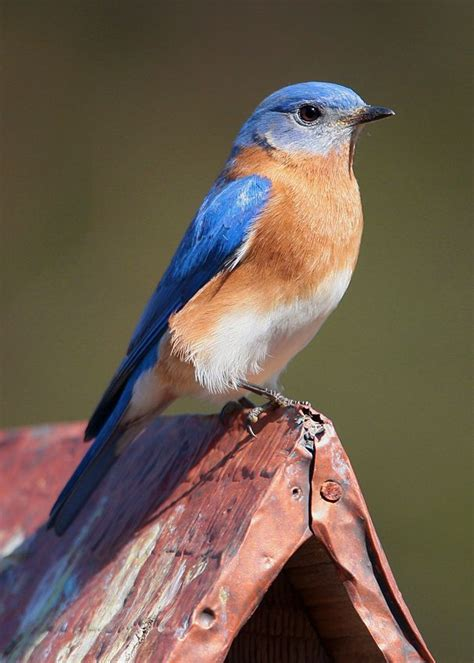 17 best images about bluebirds on pinterest indigo