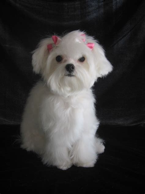 maltese poodle yorkie rescue yorkie maltese mix puppy cookie breeds picture