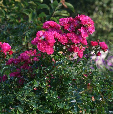 Pink Garden Flowers Coastal Gardening Perennial Flowers For The Sea Coast Coast Gardening