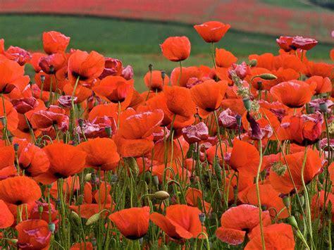 bloom red poppy field by heiko koehrer wagner