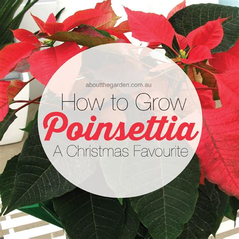 How to grow poinsettia   Red Christmas Plant   About The
