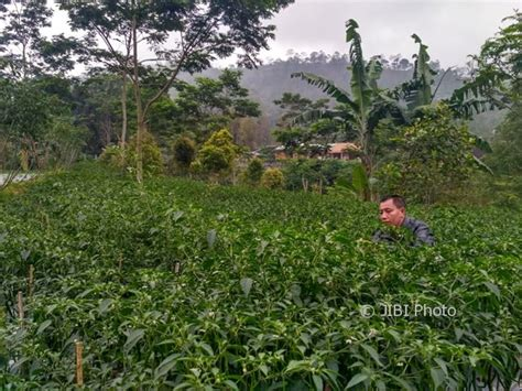 pembangunan nyia buat lahan cabai berkurang ratusan