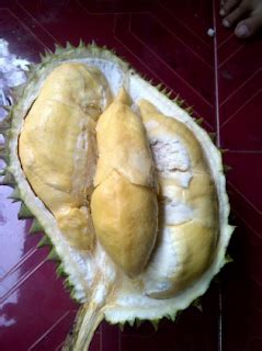 Bibit Durian Bawor Majalengka cara mencangkok pohon durian pusat bibit tanaman
