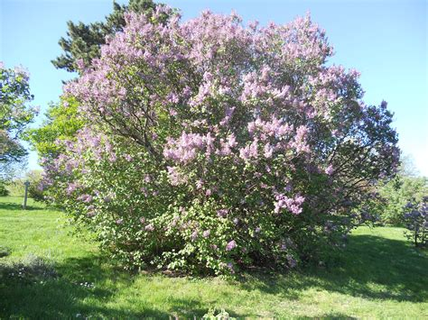 lilac tree the gallery for gt lilac tree