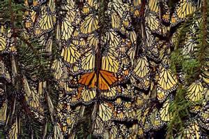 La r 233 serve de biosph 232 re du papillon monarque pr 232 s d un milliard
