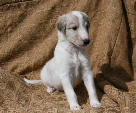 silken windhound puppies silken windhound puppies kyi leo silken windhound u s a pinter