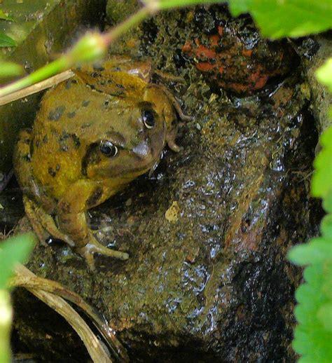 Garden Frogs by Frogs Highbury Wildlife Gardenhighbury Wildlife Garden
