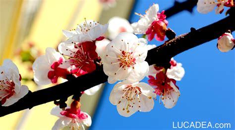 fiori albicocco fiori di albicocco foto