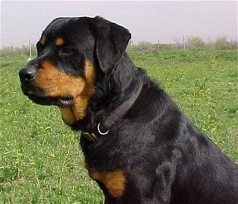 colossal rottweilers rottweiler information and pictures