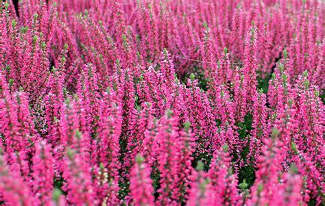 fiori da vaso invernali natura piante invernali da balcone ecco alcune idee da