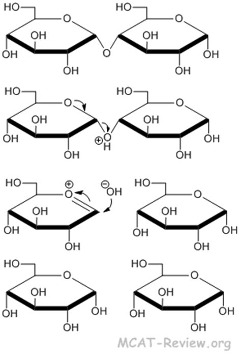 carbohydrates hydrolysis starch hydrolysis mechanism www pixshark images