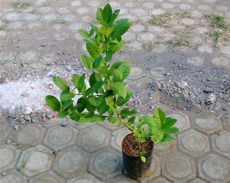 Jual Bibit Jahe Merah Cirebon jual bibit jeruk di nabire papua jual bibit tanaman unggul