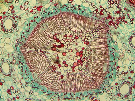 microscopic cross section file stem of first year pinus taiwanensis taiwan red pine