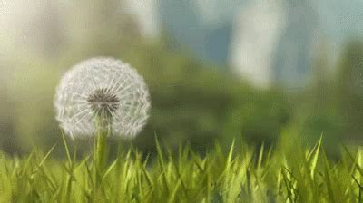 gif wallpaper macbook air dandelion gifs tenor