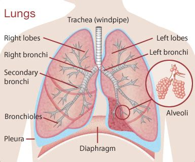 diagram of and lungs lungs diagram why you should eat more saturated in