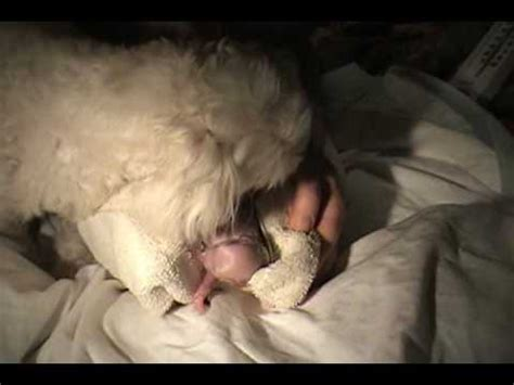 puppy birth amazing birth dogs