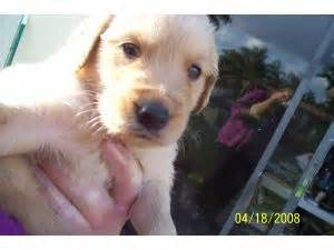 golden retriever rescue orlando golden retriever dogs for sale in florida www proteckmachinery