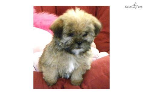 yorkie shih poo shih tzu timbercreek puppiesshihpoo malshi shichon puppies breeds picture