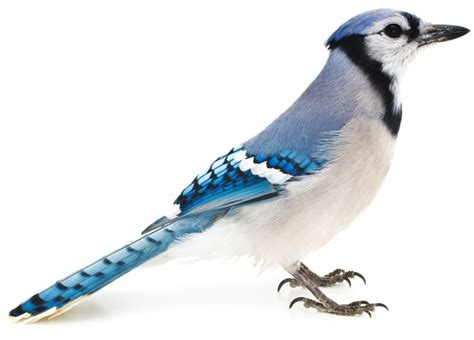 blue jays wallpaper  wallpapersafari