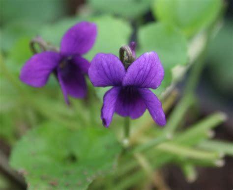 fiore viola le viole consigli sulla coltivazione e vivai priola