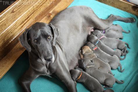 great dane puppies colorado true blue danes boulder colorado home