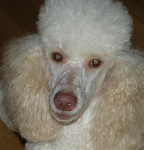 pink nose apricot poodle with pink nose dogs our friends photo