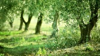 olive garden greentree olive green tree leaves growing in the garden background hd 1080 stock footage