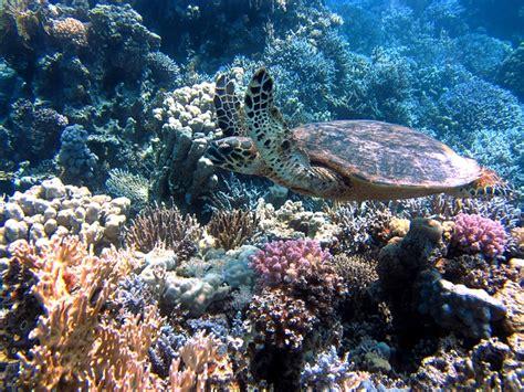dive francesi free photo turtle sea meeresbewohner free