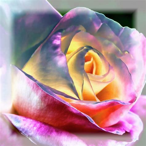 princess diana rose princess diana rose by david patterson
