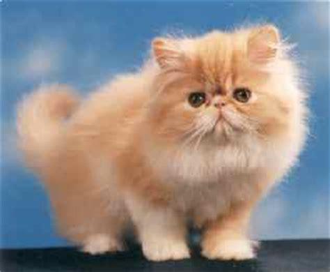 gatti persiani le razze il persiano