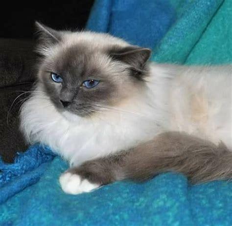 ragdoll breeders qld amjance ragdolls ragdoll cat breeder fraser coast qld