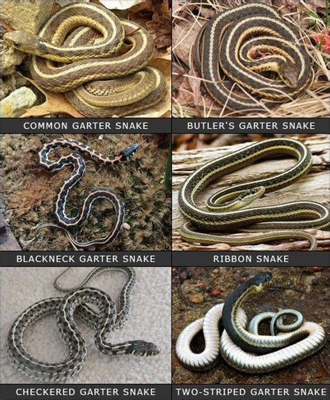 Types Of Garden Snakes by The Different Types Of Garter Snakes Serpentes