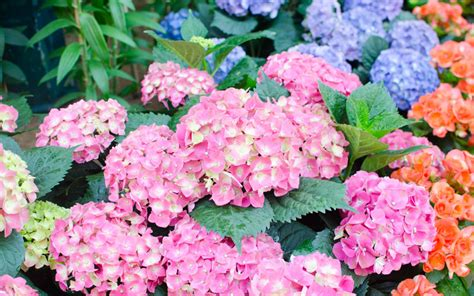 how to change the color of hydrangea flowers garden