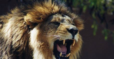 wallpapers lion roaring wallpapers