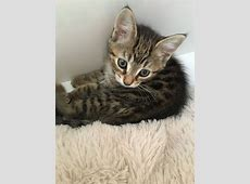 3 female kittens for sale | Andover, Hampshire | Pets4Homes Kittens For Sale