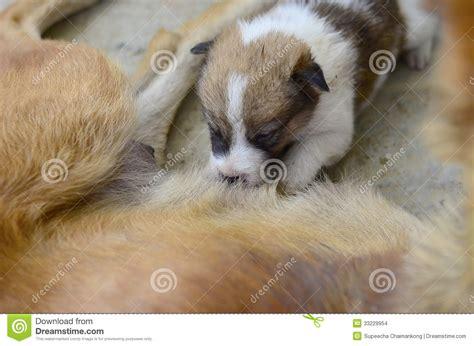 newborn puppy milk newborn puppies milk stock images image 33229954