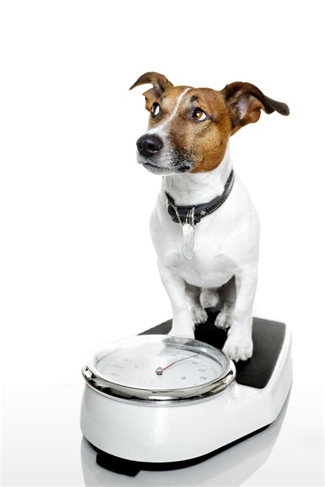 puppy weights important how to tell if your is overweight