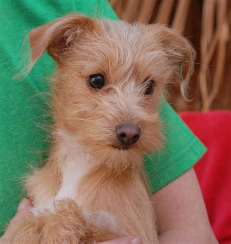 yorkie rescue las vegas best 25 terrier rescue ideas on yorkie puppies yorkie and