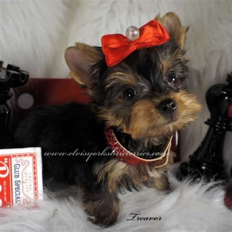 all white yorkie white yorkie puppies small yorkie puppy for sale all yorkie