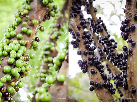 a tree by the fruit it bears jabuticaba the tree that fruits on its trunk