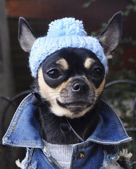 chihuahua puppy clothes best 25 chihuahua clothes ideas on sweaters 2014 pet clothes and puppy