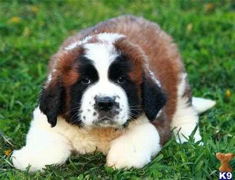 st bernard puppies price bernard breed breeeding tips and vitamins