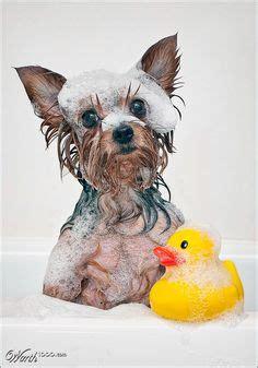 yorkie bath yorkies on yorkie yorkies and terrier